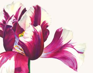 Rosie Sanders  Tulipa 'Rems Favourite'  Watercolour on Richard de Bas handmade paper  15.35 x 19.68ins (39 x 50cm)