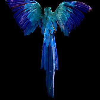 Pride & Glory, Macaw, 2012