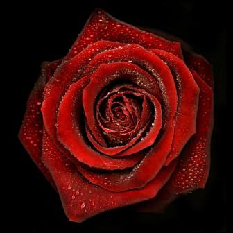 Rose II, 2011