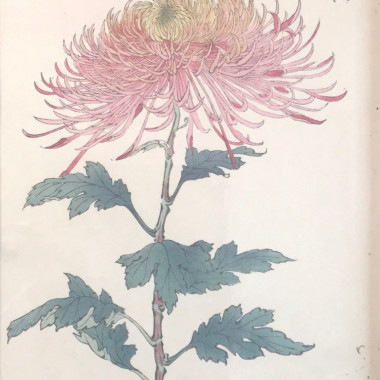 Hasegawa - One Hundred Years of Chrysanthemums I, 1893