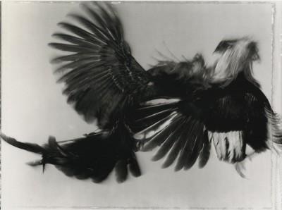 Game Fowl (109-46), New York