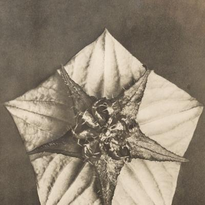 Pentagon and Star-Karl Blossfeldt
