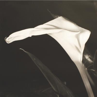 Calla Lily-Vincent Vallarino