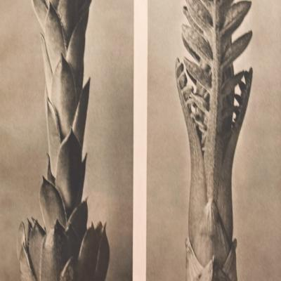 Two Beginnings-Karl Blossfeldt