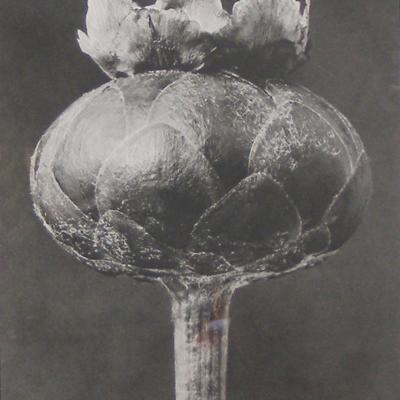 Flower Bud-Karl Blossfeldt