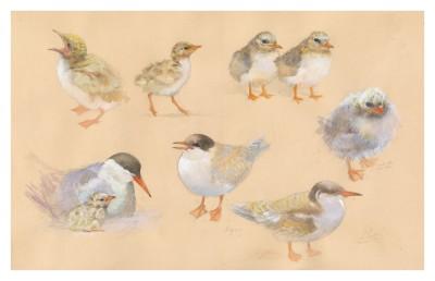 Emma Faull, Common Tern studies, Ecrehous