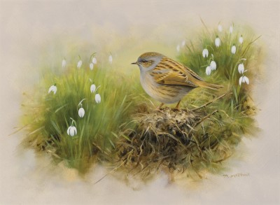 Rodger McPhail , Dunnock and snowdrops