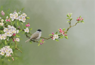 Rodger McPhail , Blackcap and blossom