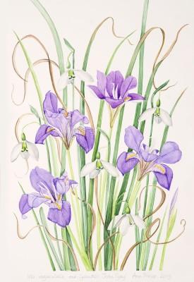 Ann Fraser, Iris unguicularis with Galanthus 'John Gray'