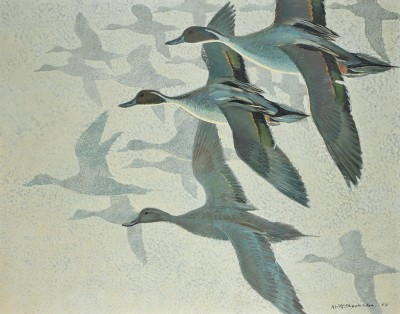 Keith Hope Shackleton MBE , Pintails in mist, 1959