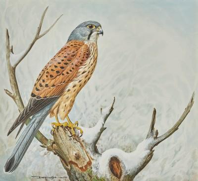 Basil Ede , Male Kestrel (Falco tinnunculus)
