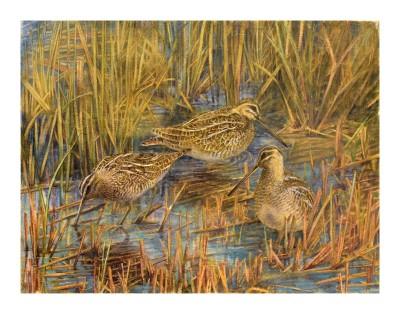 Emma Faull , Snipe in reeds