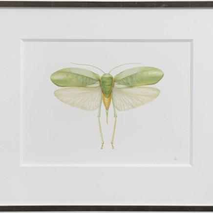 Georita Harriott - Long Horned Grasshopper - Phyllopora grandis