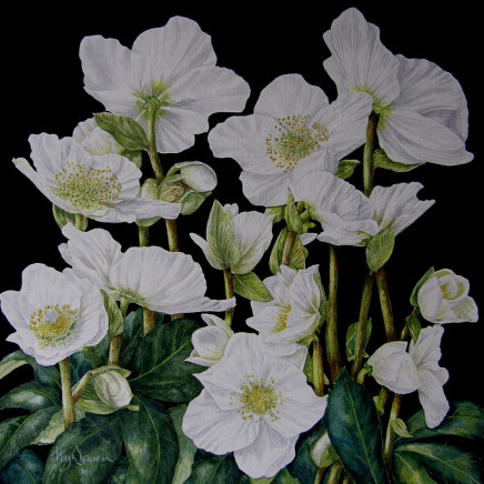 Moya Davern - Christmas Rose
