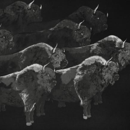 Marjan Seyedin, Troupeau de bisons, 2013