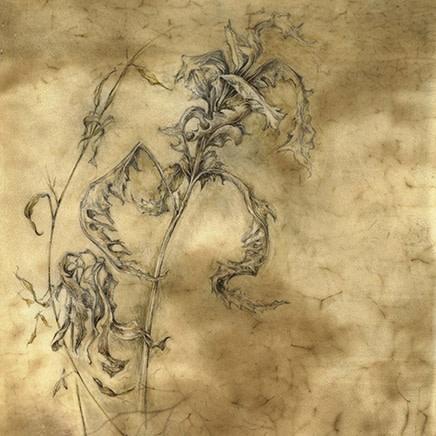 Kate Nessler - Paphiopedilum callosum (Osimis