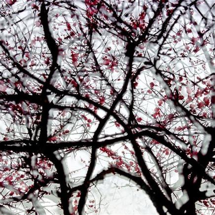 黄贵权 - Fiery Plum Blossom, 2014