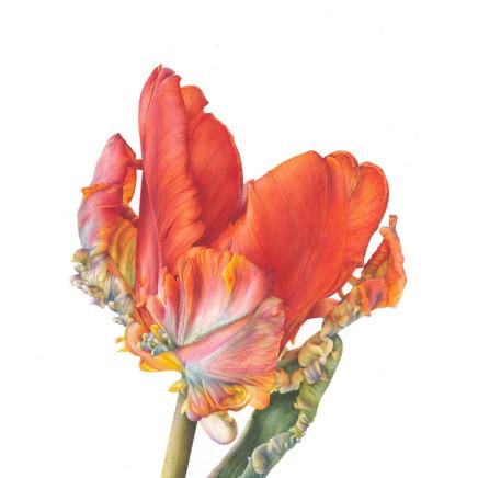 Fiona Strickland - Bud (Tulipa 'Blumex Parrot')