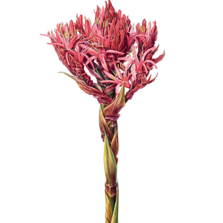 Beverly Allen - Gymea Lily (Doryanthes excelsa)
