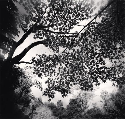 Michael Kenna, Maple Leaves, Elkando Zenrinji, Kyoto, Honshu, 2001