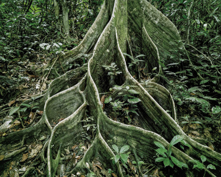 Olaf Otto Becker, PRIMARY FOREST 18, ROOTS, MALAYSIA, 2012
