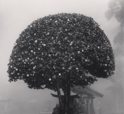 Michael Kenna, Camellia Tree, Shosanji, Tokushima, Shikoku, Japan, 2010