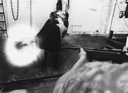 Larry Towell, Untitled [Double exposure cow and woman's head], 1974