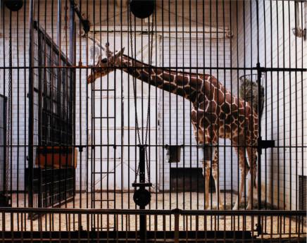 Volker Seding, Giraffe, St. Louis, 1987
