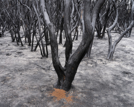 Gideon Mendel, A devastated Tea-tree forest. Mallacoota, New South Wales, 2020