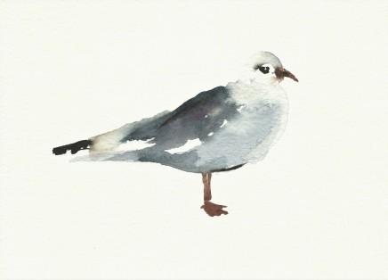 Liam Spencer, Black Headed Gull