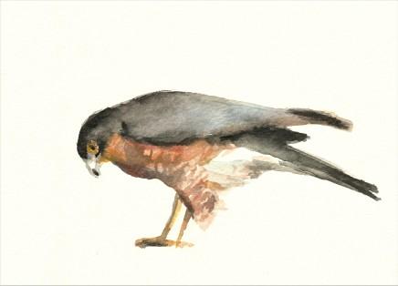 Liam Spencer, Sparrowhawk 2