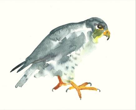 Liam Spencer, Peregrine Falcon, 2020