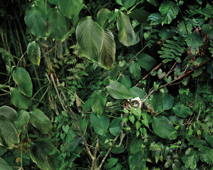 Olaf Otto Becker, PRIMARY FOREST 17, DENDRELAPHIS CAUDOLINEATUS, MALAYSIA, 2013