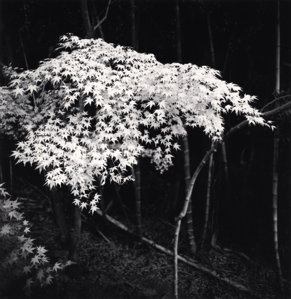 Michael Kenna, Maple Tree in Autumn, Kyoto, Honshu, 2001