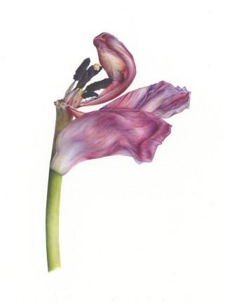 Late Spring Tulip