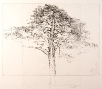 Ian Westacott, Scots Pine, 2004