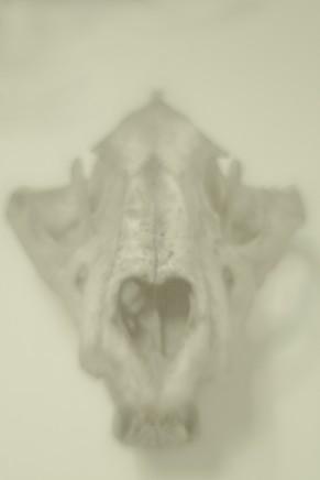 Daniel Malva, Panthera leo: cranium, 2013