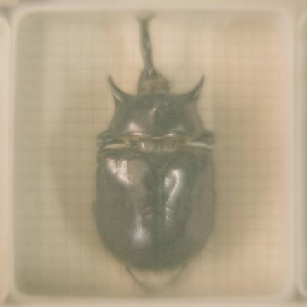 Daniel Malva, Dynastes hercules, 2009
