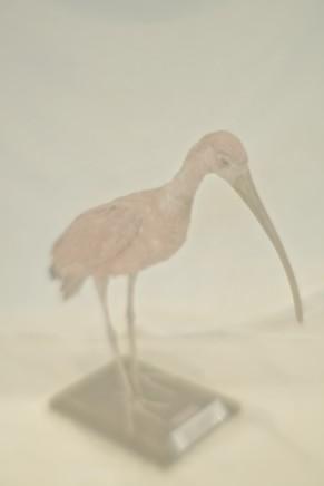 Daniel Malva, Eudocimus ruber, 2010
