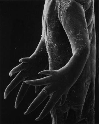 Claudia Fährenkemper, 44-02-1 Hands of a Salamander Larvae, 25x, 2002