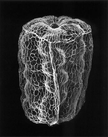 Claudia Fährenkemper, 78-05-6 Mullein Seed, 100x, 2005, 2005