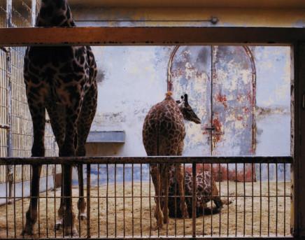 Volker Seding, Giraffe, Washington D.C., 1986