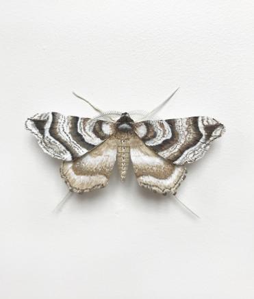 Elizabeth Thomson, Moth #5