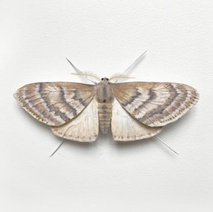 Elizabeth Thomson, Moth #3