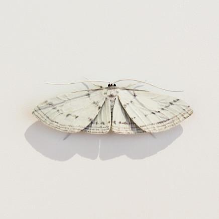 Elizabeth Thomson, Moth #19, 2020