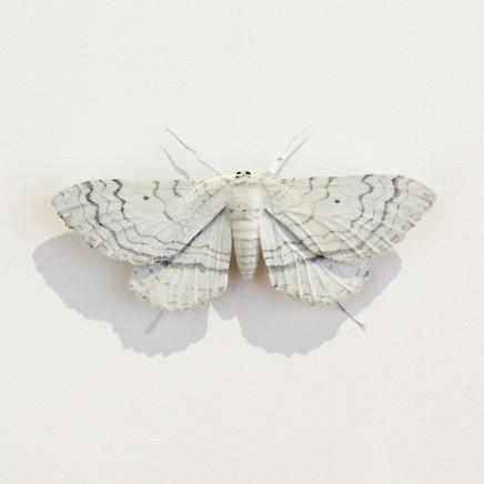 Elizabeth Thomson, Moth #16, 2020