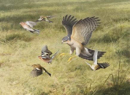 "Rodger Mcphail  SPARROWHAWK AND CHAFFINCHES  Oil on paper  20"" x 27"""