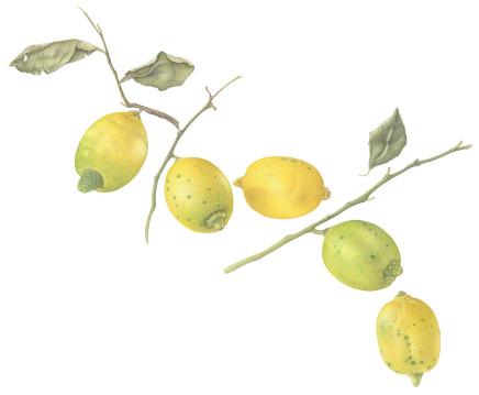 Dianne Frank, Sicilian Lemons, 2018