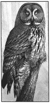 Colin See-Paynton, Great Grey Owl
