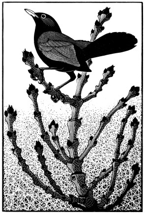 Colin See-Paynton, Blackbird about to Sing
